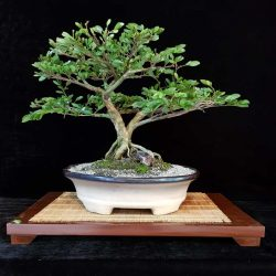 caliandra_casadelbonsai