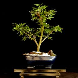 Casadelbonsai_caliandra_6