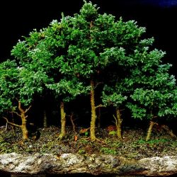 bosque_pinos_casadelbonsai